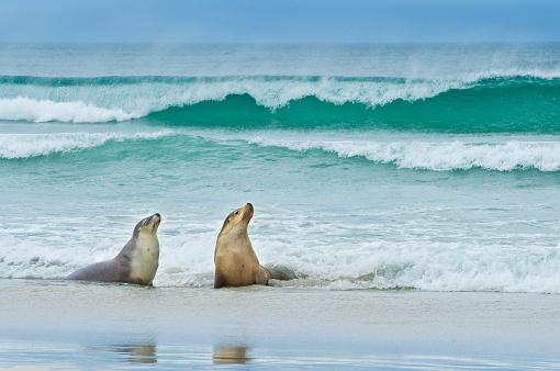 Sea Lion「Sea lion (Neophoca cinerea) on Kangaroo island」:スマホ壁紙(16)