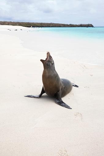 Sea Lion「Sea lion on white sand beach with turquoise blue sea, Galapagos」:スマホ壁紙(5)