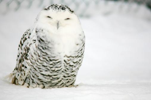 Animal Themes「Snowy Owl (Bubo scandiacus).」:スマホ壁紙(10)