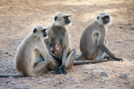Ranthambore National Park「Gray or common or Hanuman langur」:スマホ壁紙(18)