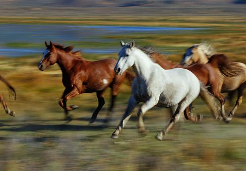 Mustang - Wild Horse「Wild mustangs (Equus caballus) running, USA (blurred motion)」:スマホ壁紙(19)