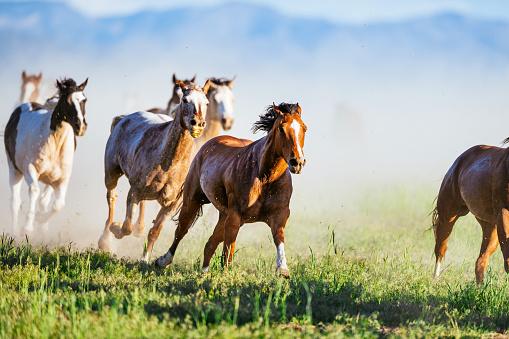 Mustang - Wild Horse「Wild mustang horses galloping in Western USA」:スマホ壁紙(8)