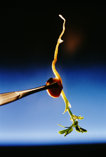 Bean Sprout「Tweezers holding growing bean sprout, close-up」:スマホ壁紙(19)