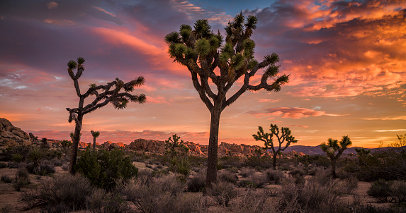 Wilderness Area「Joshua Tree desert landscape at Sunset」:スマホ壁紙(2)
