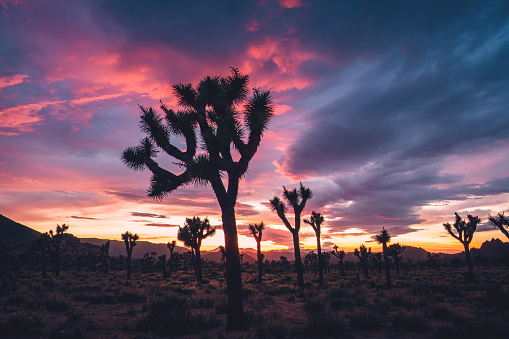 National Park「Joshua Trees in Stormy Spring Sunset」:スマホ壁紙(9)