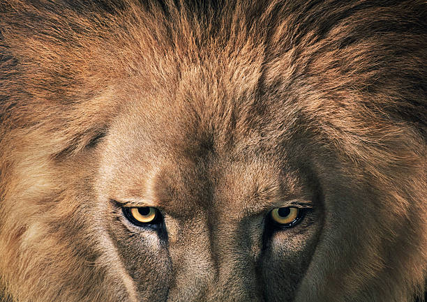 Lion staring:スマホ壁紙(壁紙.com)