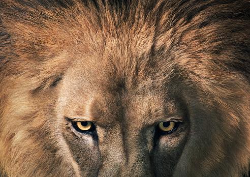 Animal Eye「Lion staring」:スマホ壁紙(2)