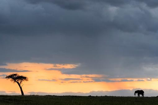 Poaching - Animal Welfare「Adult African Elephant silhouetted at sunset beside balanite tree」:スマホ壁紙(16)