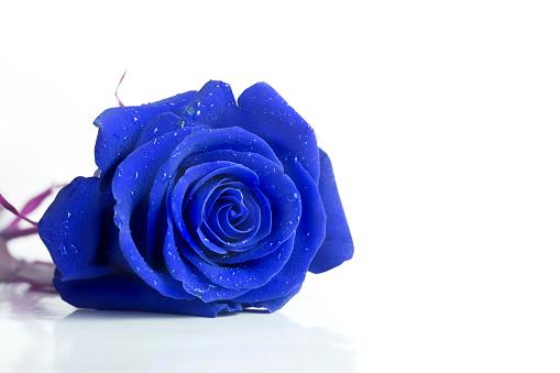 バラ「黄色着色 rose の背景に白色」:スマホ壁紙(9)