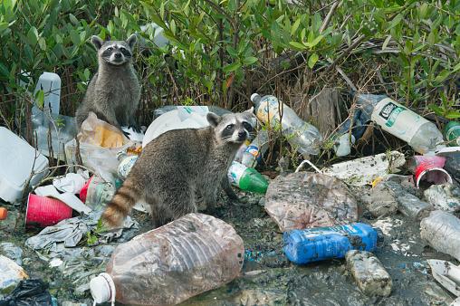 Raccoon「Pygmy Raccoon (Procyon pygmaeus) Critically endangered, Cozumel」:スマホ壁紙(10)