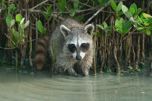 Raccoon「Pygmy Raccoon (Procyon pygmaeus) Critically endangered, Cozumel Island, Mexico」:スマホ壁紙(6)