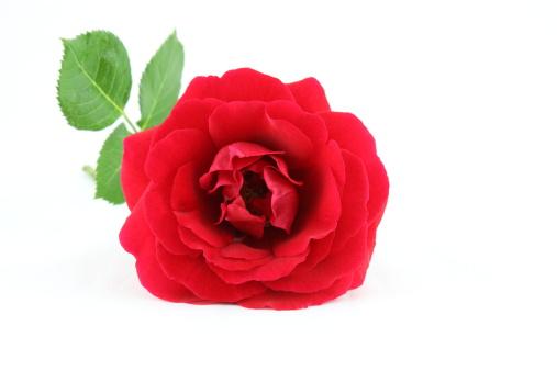 Married「Rose on White」:スマホ壁紙(17)