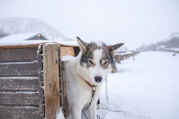 Husky peeping out of shelter,Kirkenes,Finnmark,Norway:スマホ壁紙(壁紙.com)