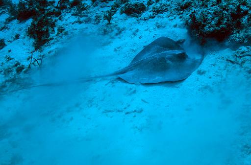 ケイマン諸島「A stingray stirs up the sandy bottom off the coast of Grandy Cayman Island.」:スマホ壁紙(17)