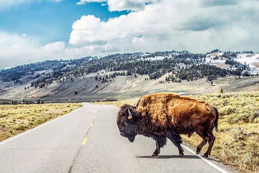 Animal Wildlife「Bison crossing」:スマホ壁紙(12)