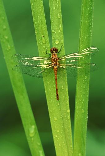 Dragonfly「Heath darter (dragonfly) on a culm」:スマホ壁紙(15)