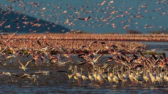 Lake Bogoria「Flamingos in mass at lake Bogoria」:スマホ壁紙(7)