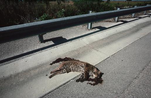 Run Over「Dead Bobcat on the Side of a Road」:スマホ壁紙(8)