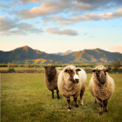 New Zealand「Spring Lamb, New Zealand meadow」:スマホ壁紙(0)