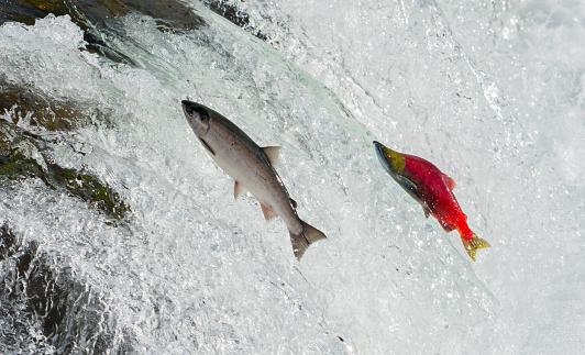 Katmai National Park「Salmon, Alaska」:スマホ壁紙(4)