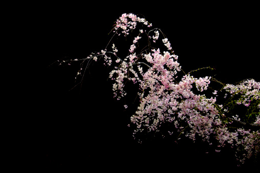 夜桜「Nocturnal view of cherry blossoms」:スマホ壁紙(2)