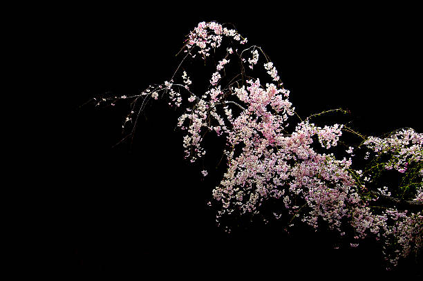 Nocturnal view of cherry blossoms:スマホ壁紙(壁紙.com)