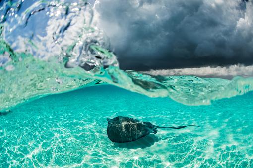 ケイマン諸島「Stingray fish in the water」:スマホ壁紙(10)