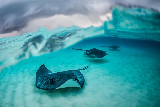 ケイマン諸島「Stingray fishes」:スマホ壁紙(9)