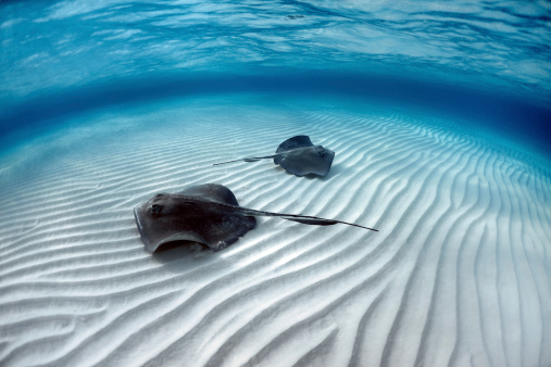 Cayman Islands「Stingray fishes」:スマホ壁紙(16)