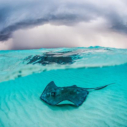 ケイマン諸島「Stingray fish」:スマホ壁紙(8)