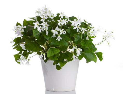 Wood Sorrel「Irish White Shamrock (Oxalis regnellii)」:スマホ壁紙(1)