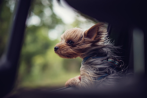Alertness「Windswept Yorkie puppy dog looking out of a car window」:スマホ壁紙(17)