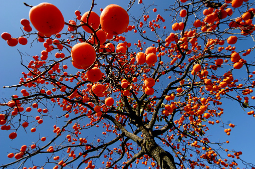 persimmon「The border town, YiChuan county, shaanxi province GaoBai Village persimmon tree features」:スマホ壁紙(15)