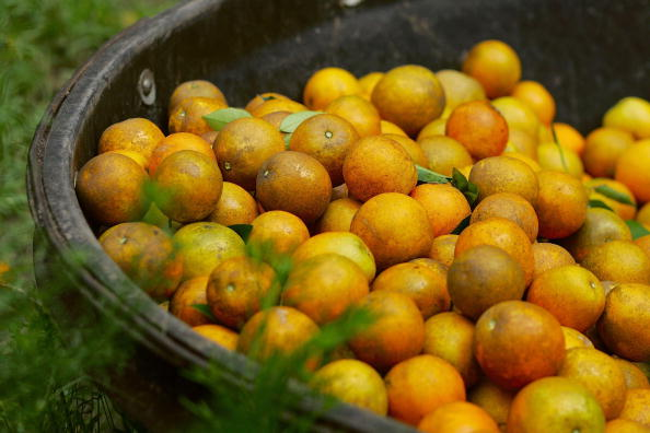 Orange - Fruit「Florida Citrus Production To Be Among Worst In A Decade」:写真・画像(5)[壁紙.com]