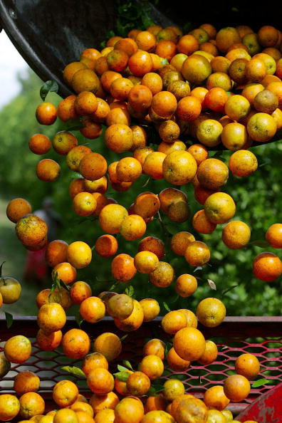 Orange - Fruit「Florida Citrus Production To Be Among Worst In A Decade」:写真・画像(7)[壁紙.com]