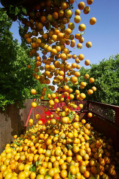 Orange - Fruit「Florida Citrus Production To Be Among Worst In A Decade」:写真・画像(4)[壁紙.com]