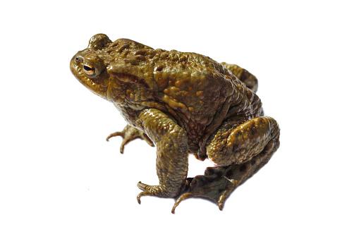 Ugliness「Comman toad」:スマホ壁紙(18)