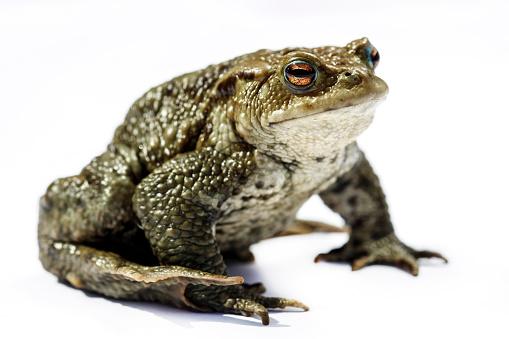 Ugliness「Comman toad」:スマホ壁紙(19)