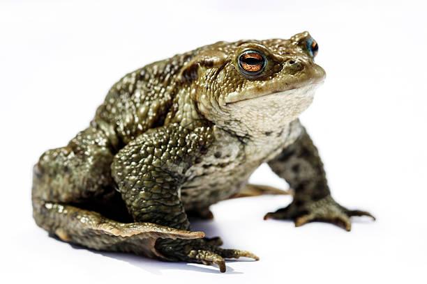 Comman toad:スマホ壁紙(壁紙.com)