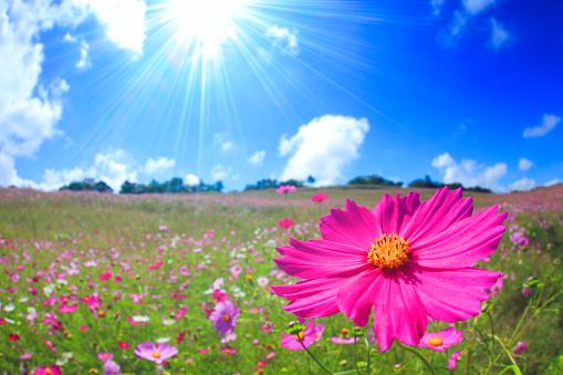 コスモス「Sunlight on pink cosmos flowers growing in field」:スマホ壁紙(18)