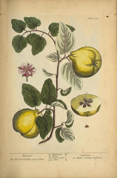 Botany「Quinces」:写真・画像(12)[壁紙.com]