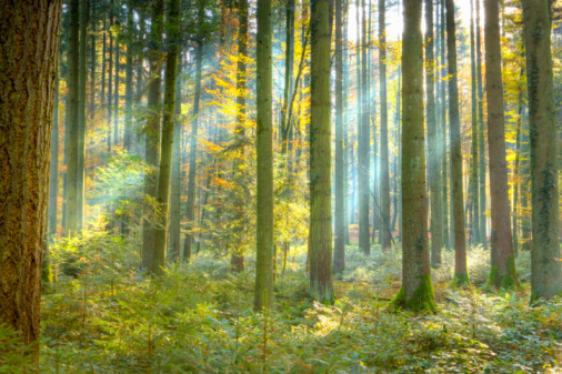 Scotland「Beams of sunlight in pine forest (Pinus sp.), autumn」:スマホ壁紙(4)