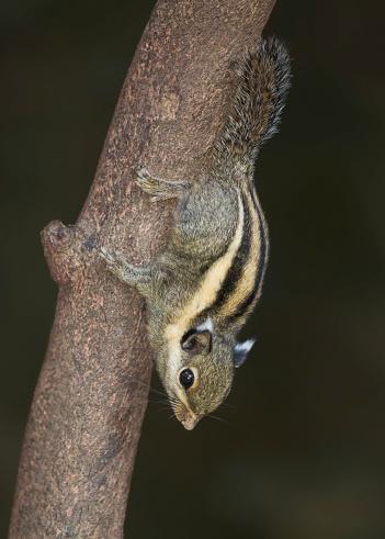 リス「Himalayan Striped Squirrel (Tamiops mcclellandii) descending a branch, Kaeng Krachan, Thailand」:スマホ壁紙(1)