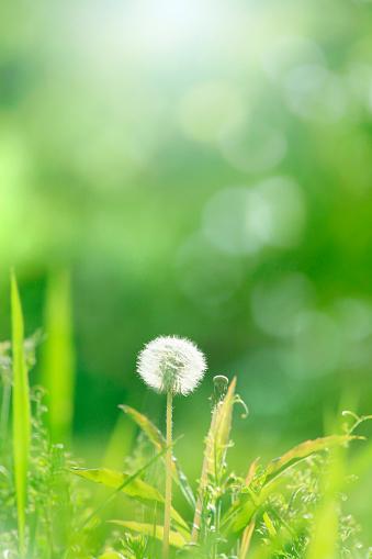 たんぽぽ「The seed of a dandelion」:スマホ壁紙(16)