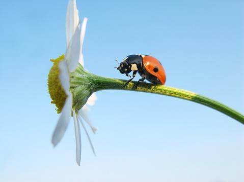 Beetle「Ladybird and daisy.」:スマホ壁紙(10)
