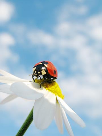 Ladybug「Ladybird and daisy with cloudy sky.」:スマホ壁紙(17)