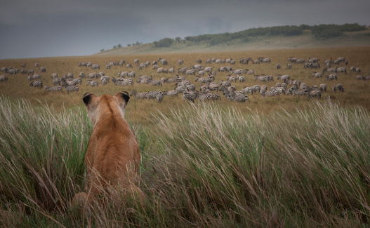 Ecosystem「Lioness  (Panthera Leo) watching zebras」:スマホ壁紙(4)
