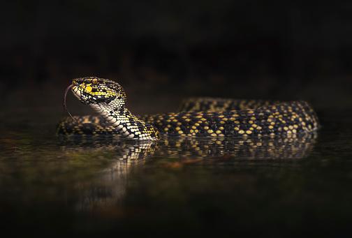Shallow「Mangrove pit viper (Trimeresurus purpureomaculatus) in shallow water, Langkawi, Malaysia」:スマホ壁紙(13)