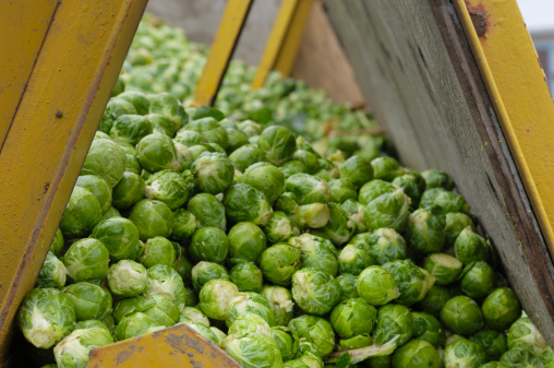 Belt「Freshly Harvested Brussels Sprouts Ready to be Processed」:スマホ壁紙(13)