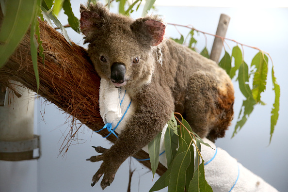 Port Macquarie「Koala Hospital Works To Save Injured Animals Following Bushfires Across Eastern Australia」:写真・画像(12)[壁紙.com]